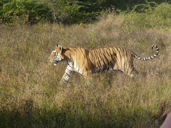 पन्ना बाघ पुन:स्थापना के 10 वर्ष पूरे होने पर होंगे राष्ट्रीय-अंतर्राष्ट्रीय कार्यक्रम