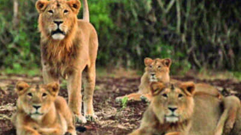 पाक: जब रिहायशी इलाके में घूमते दिखे 6 शेर…