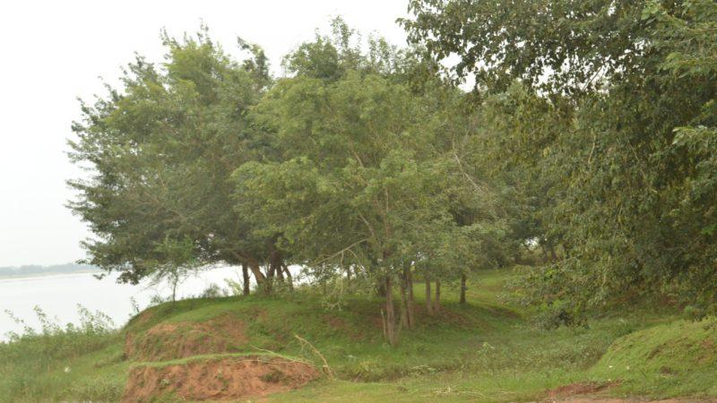 नदी तट वृक्षारोपण : महानदी के 52 हेक्टेयर तथा महाननदी के 100 हेक्टेयर रकबा में 1.67 लाख पौधों का रोपण
